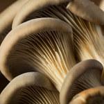 Boczniak: Co to za grzyb? Trzy pomysły na jego przyrządzenie