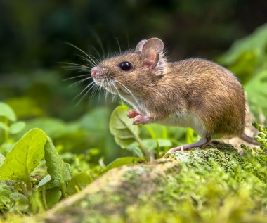 Boisz się myszy i pająków?  Potrzebujesz torebki mięty