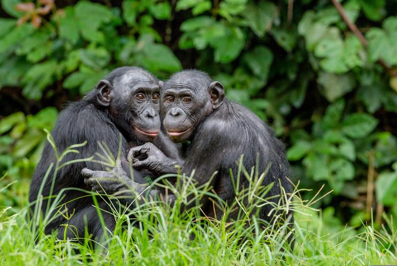Bonobo w środowisku naturalnym. / Sergei Uriadnikov   /123RF/PICSEL