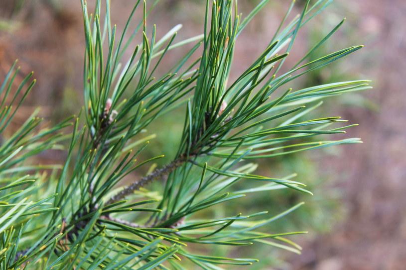 Boreczniki to szkodnik, który atakuje głównie młode sosny, chociaż może występować na starszych drzewach /123RF/PICSEL
