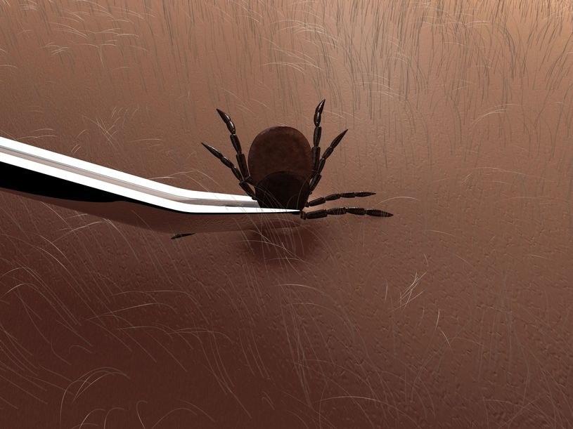 Borelioza to choroba przenoszona przez kleszcze /123RF/PICSEL