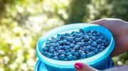 Borówki amerykańskie - nie gorsze niż jagody acai