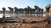 Botswana: Tajemnicza śmierć 154 słoni