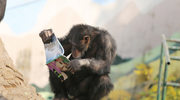 Bracia w rozumie: Czy da się porozmawiać z szympansem?