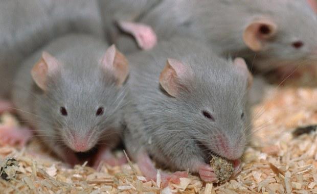 Brakuje... myszy do walki z koronawirusem