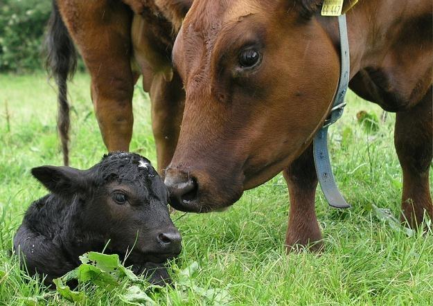 Branża mięsna chce rozmawiać z organizacjami obrońców zwierząt na temat uboju rytualnego /© Panthermedia