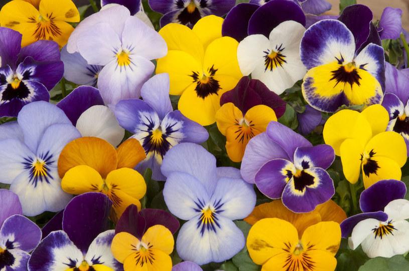 Bratki kwitnące wiosną często są narażone na przymrozki /123RF/PICSEL