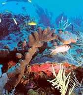 Brązowa gąbka ośmiornicza (Ectyoplasia ferox) /Encyklopedia Internautica
