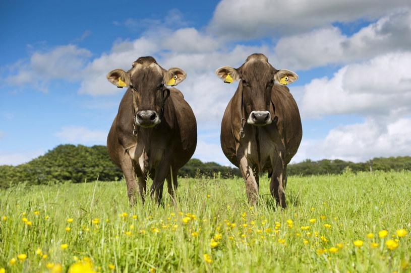 Brązowe krowy zdziwione najnowszymi doniesieniami /FLPA/Wayne Hutchinson /East News