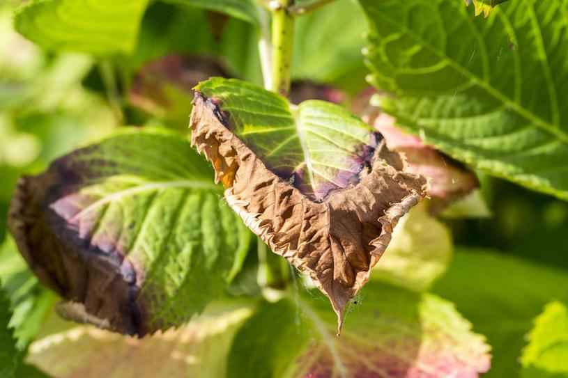 Brązowienie liści /©123RF/PICSEL