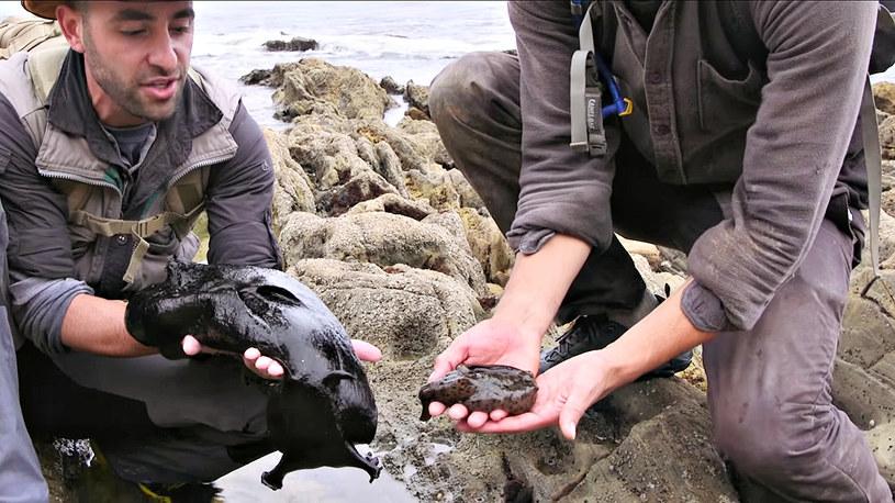 Brązowy zając wodny jest maleństwem w porównaniu do osobnika po lewej. W Polsce i tak byłby uznany za ogromny okaz /Coyote Petersen Brave Wilderness /YouTube