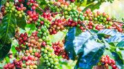 Brazylijski szlak kawowy