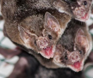Brazylijskie nietoperze piją ludzką krew