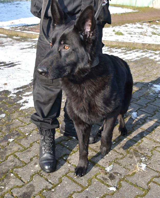 Brutus jest 11-letnim owczarkiem niemieckim /Policja