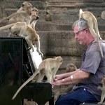 """Brytyjczyk zagrał koncert na pianinie dla setek głodnych małp. """"Jadły moją muzykę"""""""