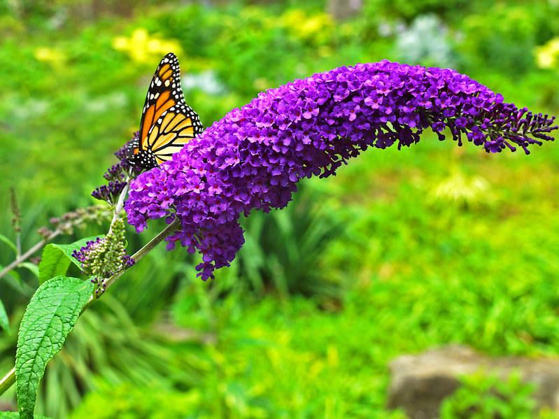 Budleja Dawida jest prawdziwym wabikiem na motyle! /123RF/PICSEL