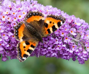 Budleja Dawida: Motyli krzew o leczniczych właściwościach
