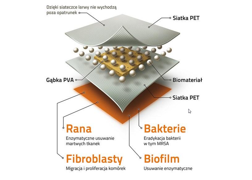Budowa opatrunku z larwami /materiały prasowe