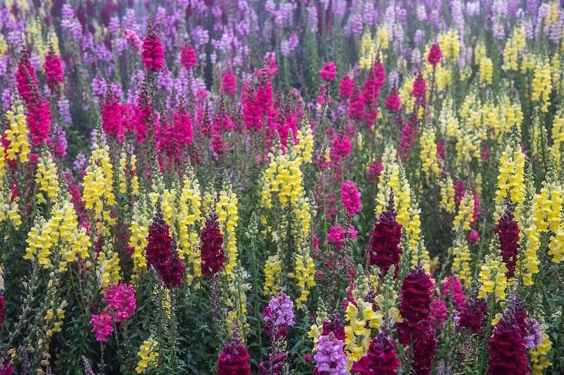 Bujnie kwitnie przez całe lato /©123RF/PICSEL