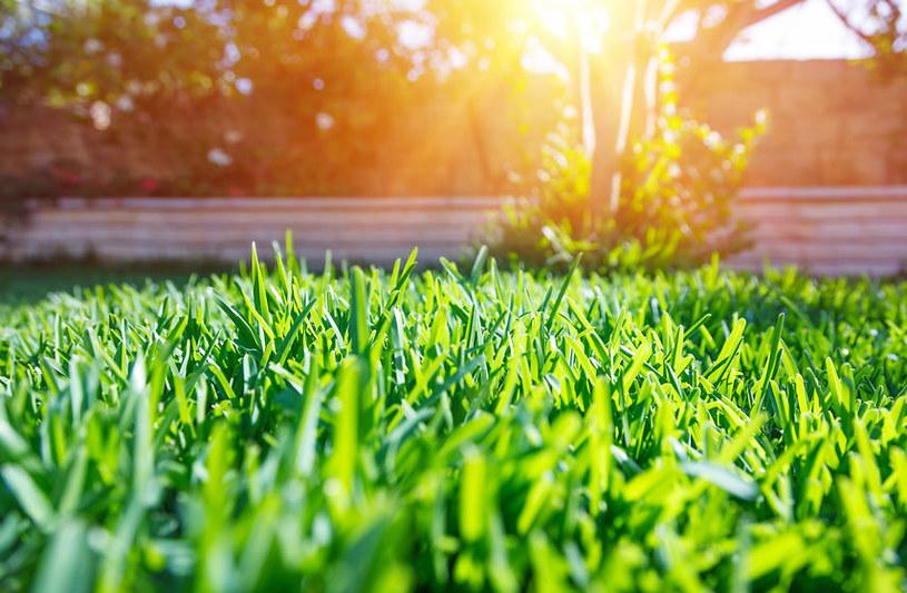 Bujny trawnik to marzenie każdego ogrodnika /123RF/PICSEL
