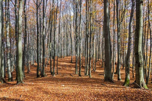 Bukiew jako materiał nasienny zbierana jest po dojrzeniu jesienią /©123RF/PICSEL