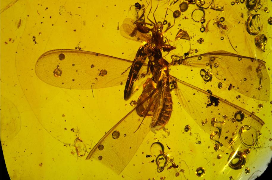 Bursztyn sprzed 16 milionów lat, z termitem i skoczogonkami /N. Robin, C. D'Haese and P. Barden /Materiały prasowe
