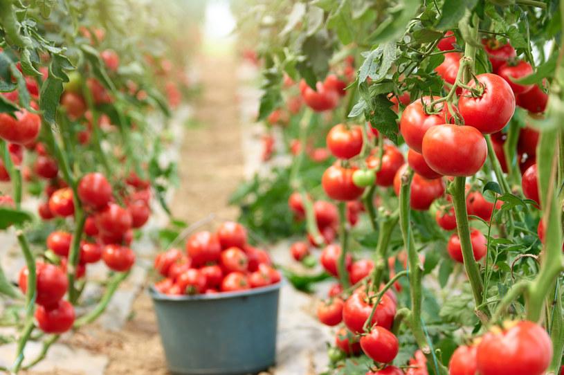 By plon był bujny, warto ochronić uprawy pomidorów opryskami z drożdży /123RF/PICSEL