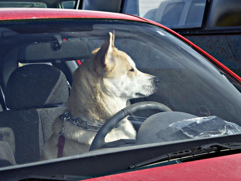 """Być może dzięki """"poczekalni"""" klienci sklepu nie będą zamykać psów w samochodach /123RF/PICSEL"""