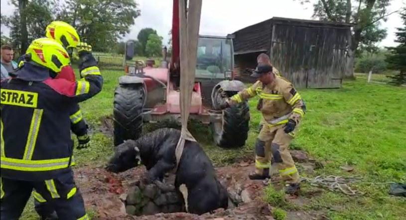 Byk wpadł do studni. Uratowali go strażacy /KP PSP w Braniewie /