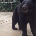 Była tak zajęta telefonem, że nie zauważyła niedźwiedzia