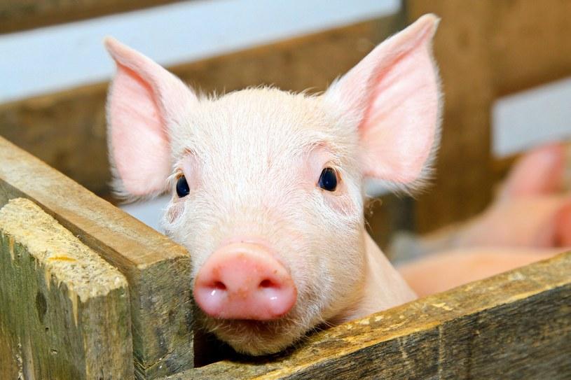 Były pracownik francuskiej chlewni otrzyma odszkodowanie za hałas powodowany przez świnie /123RF/PICSEL