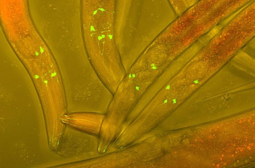 Caenorhabditis elegans ma tylko 302 neurony, ale dwa z nich są szczególnie ważne /123RF/PICSEL