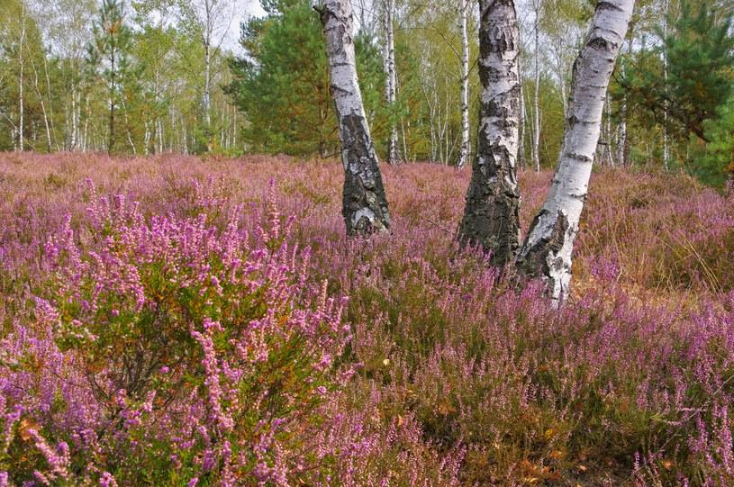 Calluna vulgaris, czyli wrzos zwyczajny rośnie w Polsce w warunkach naturalnych /123RF/PICSEL