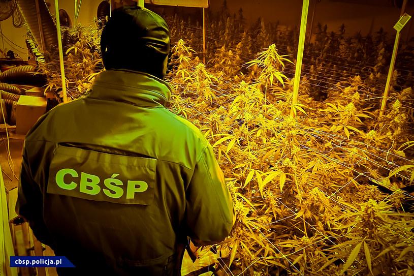 CBŚP zaskoczyło podejrzanych podczas ścinania krzewów /CBŚP /