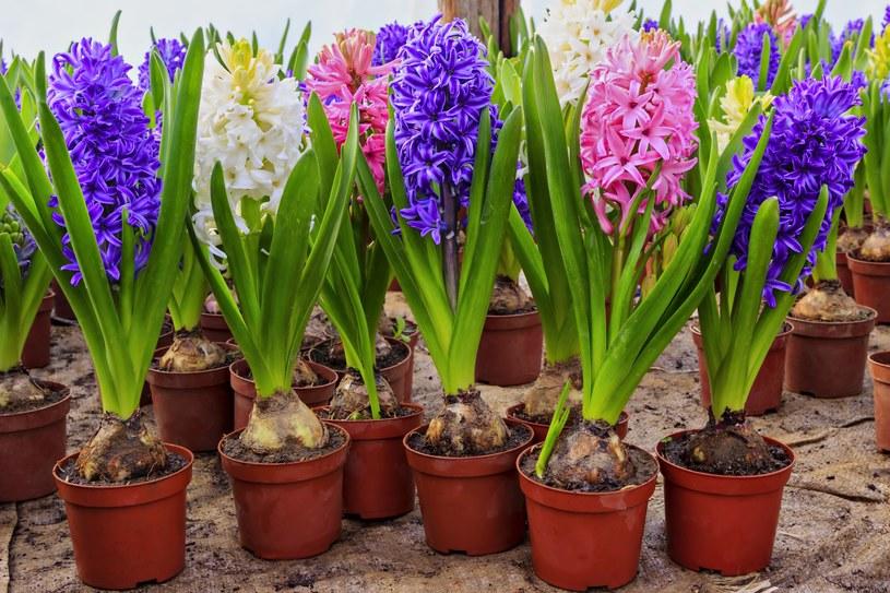 Cebule hiacynta można sadzić wielokrotnie /123RF/PICSEL