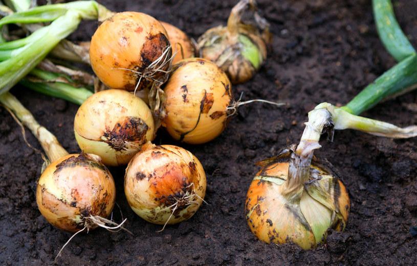 Cebulę warto zasadzić w pobliżu marchwi. To bardzo korzystne połączenie /123RF/PICSEL