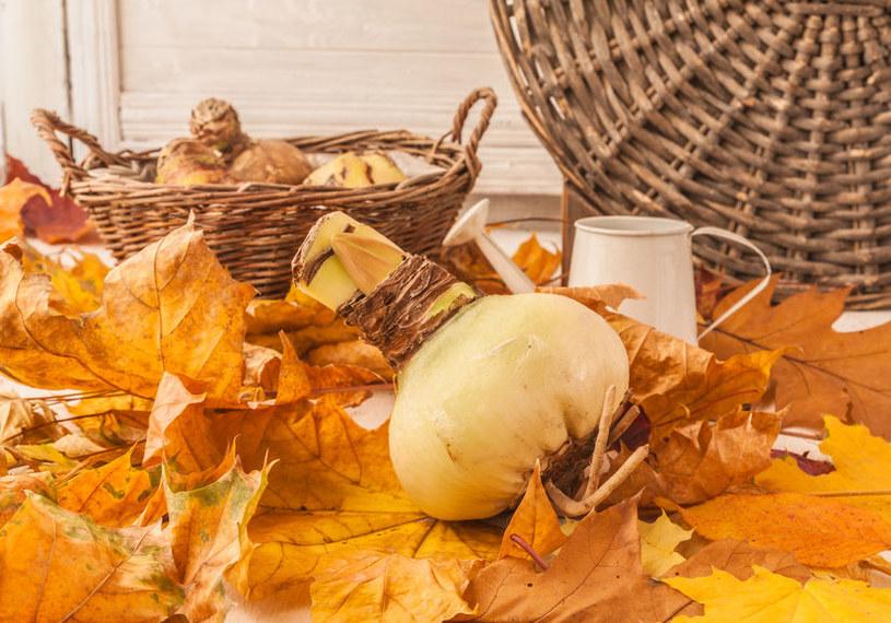 Cebulka jesienią /©123RF/PICSEL