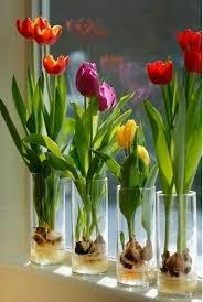 Cebulki tulipanów /© Photogenica