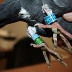 Celnicy z Bezled pomogli zagubionemu gołębiowi