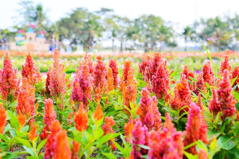 Celozja pierzasta zasadzona w grupach tworzy barwny dywan kwiatów /123RF/PICSEL