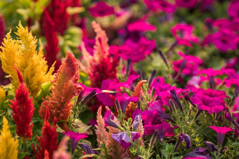 Celozję pierzastą warto sadzić w grupach z innymi gatunkami /123RF/PICSEL
