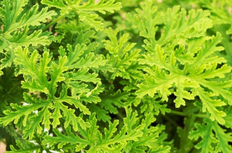 Cenne są liście anginki /©123RF/PICSEL