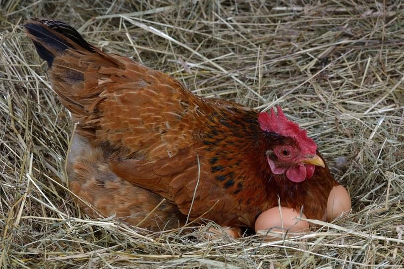 Ceny jaj mogą drastycznie wzrosnąć /123RF/PICSEL