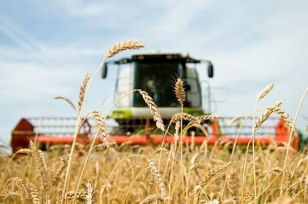Ceny zbóż będą wysokie /©123RF/PICSEL