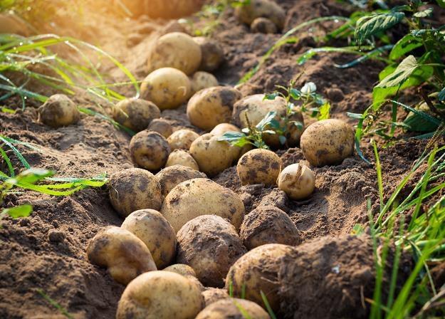 Ceny ziemniaków dwukrotnie wyższe niż przed rokiem /©123RF/PICSEL