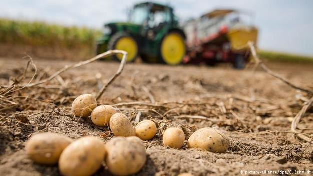Ceny ziemniaków poszły w górę, w sklepach pojawiły się wybrakowane bulwy /Deutsche Welle
