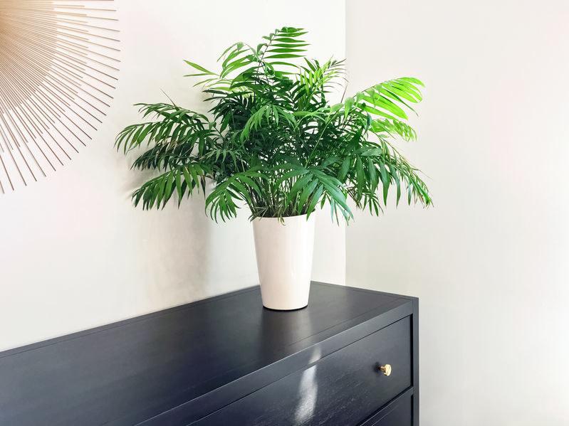 Chamedora to jedna z roślin do zadań specjalnych /©123RF/PICSEL