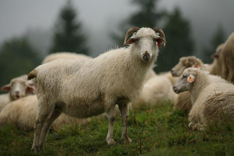Charakterystyczny smak mleka i jego przetworów wynika ze specyfiki podkarpackich łąk i pastwisk /JOLA LIPKA /East News