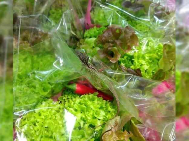 Chciała kupić warzywa... ze sklepu wyszła z gekonem. /iszczecinek.pl /