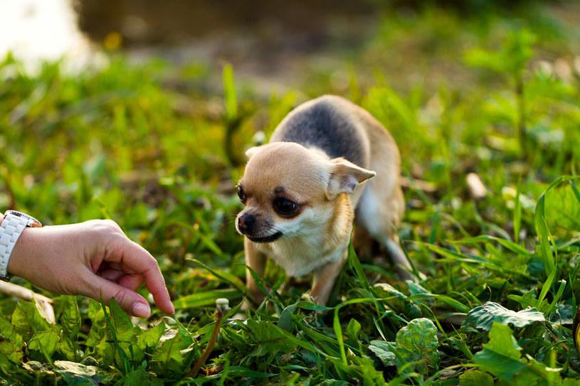 Chihuahua to psy, które mają bardzo cienką sierść /123RF/PICSEL